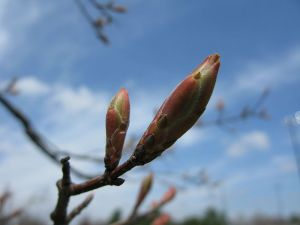 800px-Tree-bud-lexington-ky-park