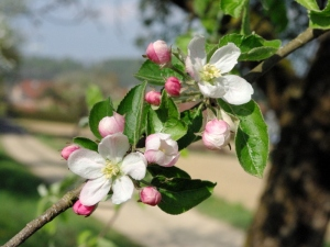 Apple-Tree-Flowers-©-French-Moments